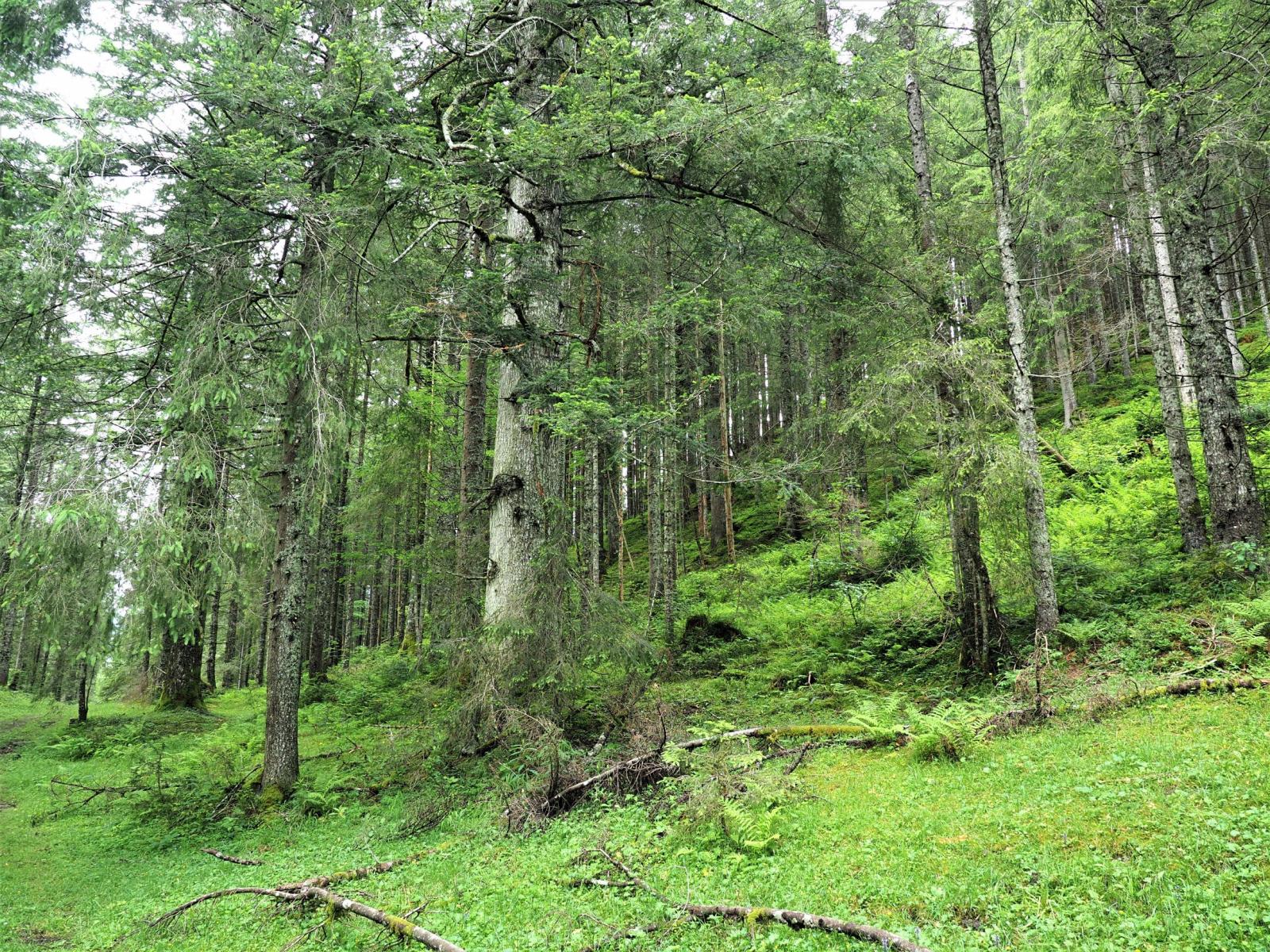 Im Wald Der Nickenden Fichten